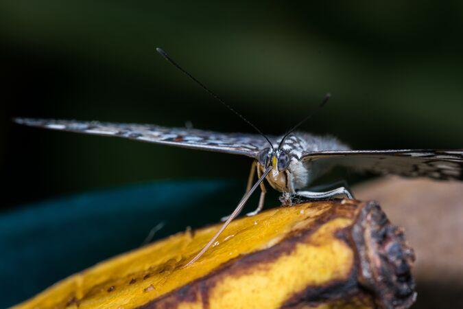 一只蝴蝶吃香蕉的特写镜头