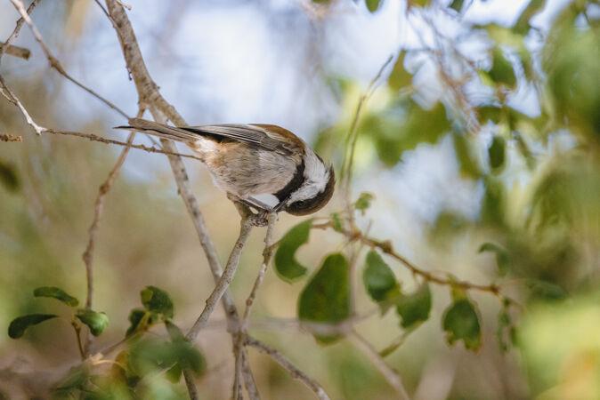 白天树枝上有棕色和白色的鸟